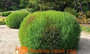 Кохия или летний кипарис: выращивание из семян, когда сажать, посадка и уход