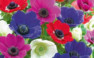 Анемоны: уход и посадка цветов в открытом грунте осенью, где цветут