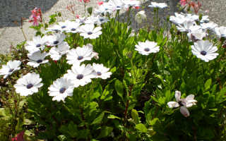 Остеоспермум: уход и выращивание из семян в домашних условиях