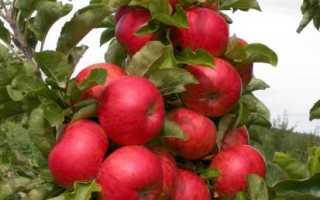 Яблоня колоновидная Созвездие, плюсы и минусы, выращивание