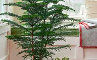Араукария: уход в домашних условиях, размножение, описание