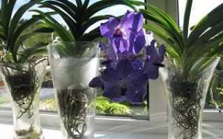 Орхидея Ванда: цветок в горшке, уход и описание
