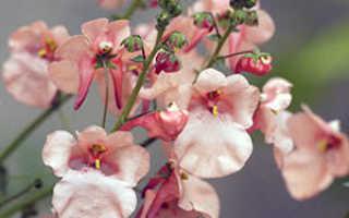 Диасция: выращивание из семян в домашних условиях, пересадка и размножение
