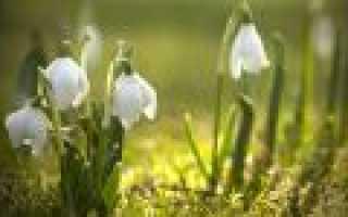 Подснежник узколистный: где растет, описание, когда цветет, размножение