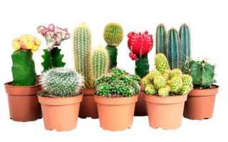 Кактус: как частот цветет в домашних условиях, уход, полив, посадка и пересадка