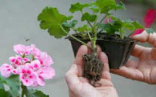 Герань или пеларгония: размножение черенками в домашних условиях